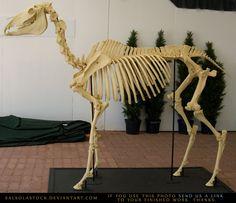 Horse Skeleton 3 by SalsolaStock on DeviantArt Horse Anatomy, Animal Anatomy, Horse Bones, The Magicians Nephew, Skeleton Anatomy, Animal Skeletons, Human Figure Drawing, Anatomy For Artists, Horse Sculpture