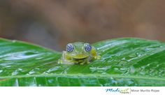 Ghost Glass Frog by Minor Murillo Rojas on 500px