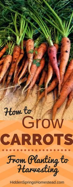 Learn how to easily grow carrots. You can grow carrots in your garden successfully by following this step by step how to grow carrots. You can harvest your own carrots!