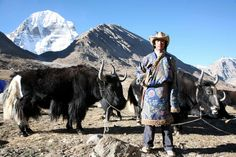 Tibetan Yak Teamster Sacred Mount Kailash Far Western Tibet China