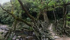 Deep in the rainforests of the Indian state of Meghalaya, bridges are not built, they're grown. For more than 500 years locals have guided roots and vines from the native Ficus Elastica (rubber tree) across rivers, using hollowed out trees to create root guidance systems. When the roots and vines reach the opposite bank they are allowed to take root. Some of the bridges are over 100 feet long and can support the weight of 50 people.