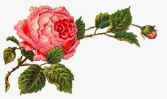 Antique Images: Free Digital Flower Label Pink Rose Clip Art and Corner Design