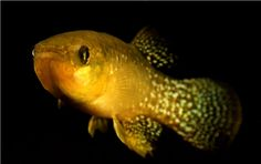 It's an evolutionary miracle some of these animals are even alive. No, seriously. A fish that adapted to survive in this water shows evolution at its finest, according to a study published Thursday in Science.