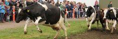 Dansende økologiske køer. Landbrug - Økologi - Fødevareministeriet
