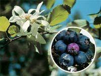Zázrak jménem muchovník: pěstování, recept na likér a víno