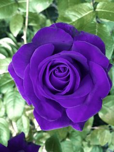 Beautiful Flowers Images, Flower Images, Love Flowers, Beautiful Roses, Old English Roses, Pretty Roses, Vintage Roses, Purple Flowers, Favorite Color