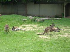 Kangaroos at the Toronto Zoo.