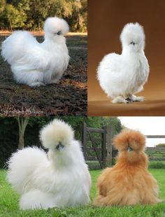 silkie chickens so cute and soft.  Saw and petted one at Stockyard days.  I want some.