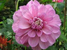 Blackberry Ice Dahlia