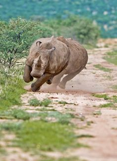 I want to see a rhino run in real life.