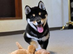 black and tan shiba puppy