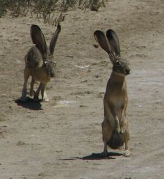 A HUSK OF JACKRABBITS  I could not find a photo of more than two jack rabbits together.