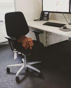 Employee of the month #petsatwork #officedog #officechair