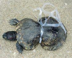 La muerte de tortugas marinas por enredos en desechos plásticos podría estar causando efectos a escala poblacional en algunas áreas
