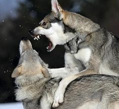 Angry Wolves