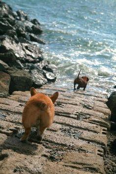 The Daily Corgi: Momo! http://thedailycorgi.blogspot.com/2009/08/momo.html #pembroke #welsh #corgi #dog