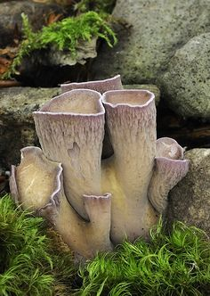 gomphus clavatus .. this is actually a fungi .. mushroom .. what a fabulous shape for a ceramic sculpture ..