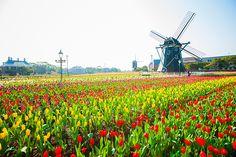 ハウステンボスで、ヨーロッパの街並みに九州最大100万本超のチューリップが咲き誇る「チューリップ祭」が開催される。期間は、2017年2月9日(木)から4月17日(月)まで。ハウステンボスは、オランダの...