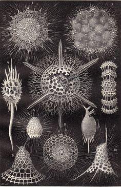 1908 edwardian SEA LIFE print of RADIOLARIA aquatic microorganisms,  amoeboid protozoa, zooplankton, mineral skeletons.