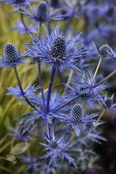Sea holly Eryngium × zabelii 'Jos Eijking (PBR)' Position: full sun Soil: moist, well-drained soil Rate of growth: average Flowering period: August to October Flower colour: steely blue Other features: superb foliage Hardiness: fully hardy Seaside Garden, Blue Garden, Summer Garden, Winter Garden, Dream Garden, Colorful Flowers, Blue Flowers, Wild Flowers, Beautiful Flowers