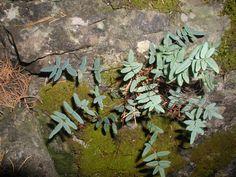 a cliff brake (fern)