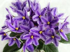 Chimera DS-Lavander Tale~African Violet~Plant~Ukr/Russian Variety, Semi-Mini