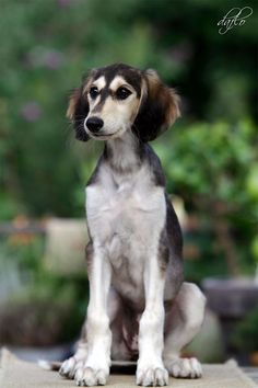 Cute Cats And Dogs, Dogs And Puppies, Doggies, Dog Day Afternoon, Huge Dogs, Mini Dogs, Irish Wolfhound, Hound Dog, Whippet