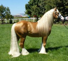 Lord Calidore, Gypsy Horse Stallion - our mare Fanora is bred to him for an early 2015 foal, which will be for sale. Most Beautiful Horses, All The Pretty Horses, Animals Beautiful, Palomino, Haflinger Horse, Gypsy Horse, Work Horses, Big Horses, Horse World