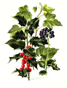 Anne Ophelia Dowden Holly, Ivy 20th century