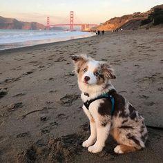 Jasper, The Adventure Floof, Corgi-Aussie Mix - Jeffs Dogs Super Cute Puppies, Cute Baby Dogs, Cute Little Puppies, Cute Dogs And Puppies, Doggies, Corgi Aussie Mix, Aussie Dogs, Australian Shepherd Dogs, Toy Aussie