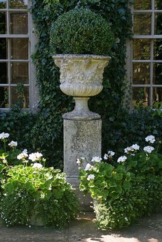 Boxwood Urn and White Geraniums - Wollerton Old Hall Gardens