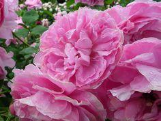Rose Mary Rose, Shrub rose, United Kingdom, Austin, 1983