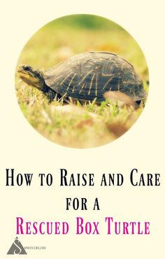 How to Care for a Rescued Box Turtle. Tips for feeding, housing, and releasing box turtles. Tortoise As Pets, Tortoise Food, Baby Tortoise, Tortoise Care, Tortoise House, Tortoise Turtle, Box Turtle Habitat, Russian Tortoise, Box Turtles