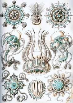 Haeckel Narcomedusae - Enter the Void - Wikipedia, the free encyclopedia