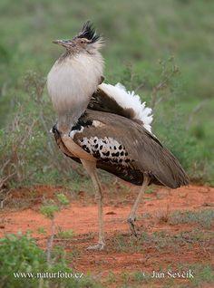 koritrap - Zwaarst vliegende vogel. Voorkomend oa Namibië.