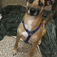 Pictures Of Peanut A Boxer For Adoption In Martinsburg Wv Who