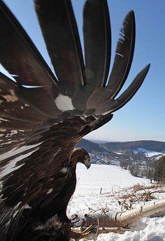 golden eagle ~ thunderbird of my heart  Orzeł przedni, Golden #eagle, perhaps they being mistaken as a thunderbird?