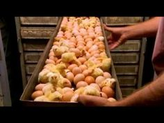 food inc chicken house Food Documentaries, Hatching Chickens, Manipulation, Food Inc, Vegetables, Youtube, Social Issues, Reading, Natural