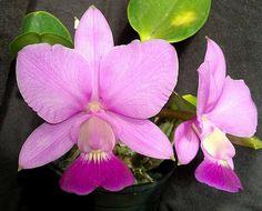 Cattleya walkeriana | Clelia Costa | Flickr
