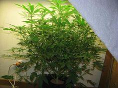 D.W.C x O.G Kush Clone #weed
