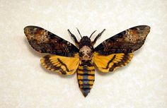 The Death's Head Moth, used in Silence of the Lambs.