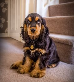 Young cocker spaniel - gorgeous pup!