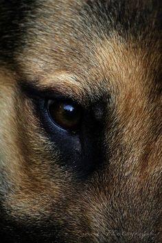 German Shepherd Puppies German Shepherd (Photo by Ellie Lynne Photography) German Shepherd Photos, German Shepherd Puppies, German Shepherds, Pet Dogs, Dogs And Puppies, Dog Cat, Doggies, Regard Animal, Schaefer