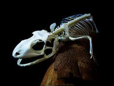 Tokay gecko skeleton by Vaukalaka, via Flickr