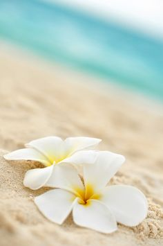 Phone wallpaper: Plumeria flowers on the beach