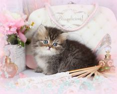Shaded Golden Teacup Persian Rug Hugger - this little guy is adorable