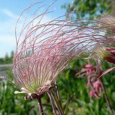 Prairie Smoke aka Old Man's Whiskers. Prairie Garden, Meadow Garden, Rain Garden, Prairie Meadows, Low Maintenance Landscaping, Unusual Flowers, Thing 1, Spring Bulbs, Seed Pods