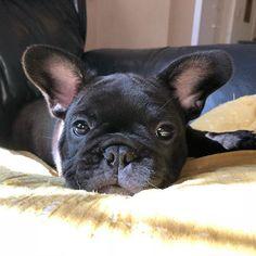 Onny, the French Bulldog Puppy