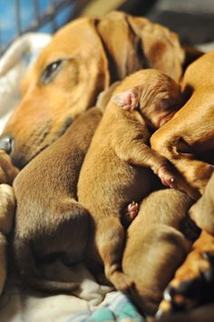 Mama Dachshund with her litter of dachshund puppies