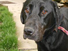 CHARLY chien male labrador noir, 10 mois  a été trouvé  beau et adorable chien, un peu sur la réserve quand il connait pas  tres affectueux et calin,   calme , a besoin rapidement d une famille responsable   refuge de saintes 17100 0546934765  ouvert tous les jours 14h a 18h